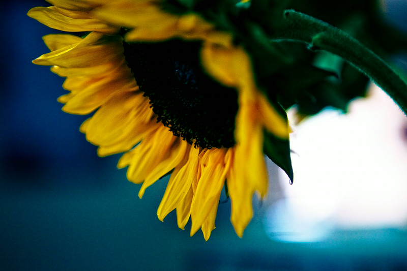 may12-sunflower-flowers
