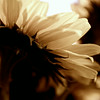 jun12-sepia-sunflower