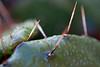 Project 52 - RDH Photo 44 - Thorn and Dew - 11-02-2013
