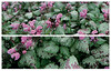 "thegardencentregroup.co.uk<br /> <br /> Lamium maculatum 'Beacon Silver' is a fully hardy semi-evergreen herbaceous perennial. It is best planted in moist but well drained soil, and grows to an ultimate height of 0.6m - 1m over 1 - 2 years. <br /> <br /> British nursery grown.<br /> <br /> Read more: <a href=""http://www.thegardencentregroup.co.uk/item/Herbaceous-Perennials/Beacon-Silver/CB6#ixzz35MdFFtw8"">http://www.thegardencentregroup.co.uk/item/Herbaceous-Perennials/Beacon-Silver/CB6#ixzz35MdFFtw8</a>"