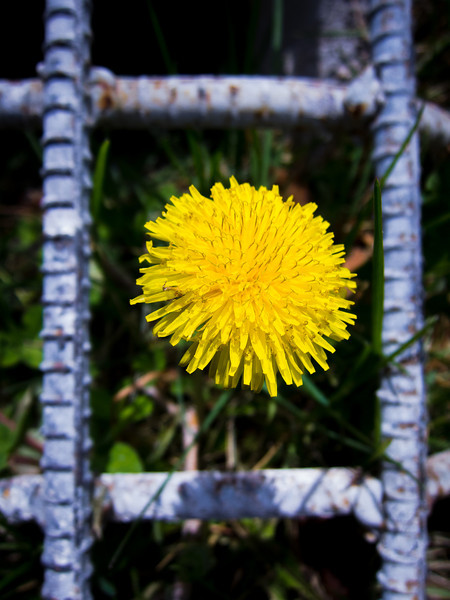 Dandelion behind bars