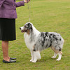 20140301_Australian Shepherds_Scottsdale -152