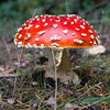 Found this classic looking mushroom while camping, believe it's called Amanita Muscaria, Fly Agaric.