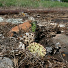 One hardy cactus leaf remains amid an area killed by a  patch to a leaking overground pipe that ruptured and spilled oil and fouled the surrounding ground in Osage County.