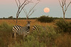 Sunset, Moonrise and a Zebra
