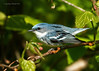 Cerulean Warbler  Brecksville Reservation, Ohio1st Place winner of 2012 Cuyahoga Valley Photographic Society Photography Contest