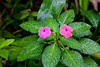 Impatiens wildlfowers in El Yunque National Forest, Puerto Rico, West Indies.