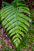 Closeup of a tropical fern leaf in El Yunque National forest, Puerto Rico, West Indies.