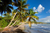 Tropical palms overhanging the beach near Yabucoa, Puerto Rico, West Indies.