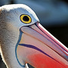 Pelican at close-up.