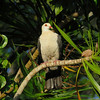 PIGEON WHITE-HEADED_07