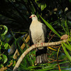 PIGEON WHITE-HEADED_06
