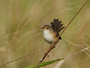 FAIRY-WREN RED-BACKED F_04