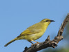 HONEYEATER YELLOW_06