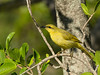 HONEYEATER YELLOW_04