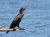 CORMORANT LITTLE BLACK_19