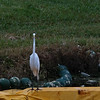 Meanwhile...Patti, running a slower race, can't resist stopping for this Great Egret on the course.