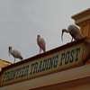 The usual White Ibises add a little Alfred Hitchcock touch to Frontierland.