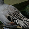 Jeane humored Patti by taking this close up of these magnificently elegant feathers of the Northern Pintail.
