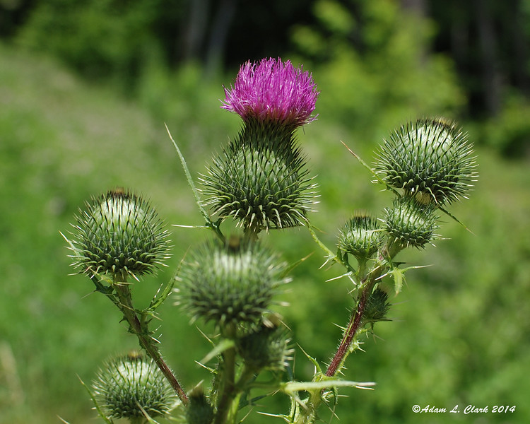 07.04.2014 <br><br>Some thistle comes into bloom