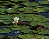 07.05.2014 <br><br>This water lily remains partially closed up in the afternoon sun