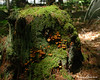 07.01.2014 <br><br>Mushrooms and moss grow on this old stump in the woods