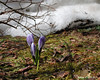 04.11.2014 The snow has receded enough in front of our house for my favorite of our crocuses to start blossoming