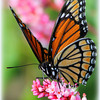 A viceroy photographed on County Road 50 East in Cass County. Ph