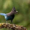 Steller's Jay Calling out