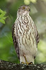 Immature Cooper's Hawk, Lafitte's Cove, Galveston, TX