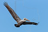 Brown Pelican, Flight, Freeport Jetty, Texas