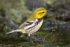 Black-throated Green Warbler, Lafitte's Cove, Galveston, TX