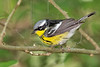 Magnolia Warbler, Male, Lafitte's Cove, Galveston, TX