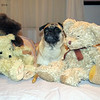 Fake or Fraud?<br /> My pug, Sadie, among my bears.  After the shoot, she thought she should get to play with all of them!