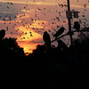 Purple Martins Coming In to Roost, Austin, TX