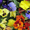 Colour my week:  Bold, strong colours (These are my pansies!)