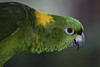 Yellow naped amazon parrot (captive)