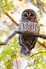 Barred Owl in my Backyad