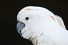 Salmon-crested cockatoo (captive)