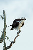 Osprey ruffling its feathers - St. Marks National Wildlife Refuge
