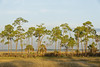 Longleaf Pine Stand on a Marsh Island