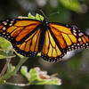 Monarch Butterfly with medium texture