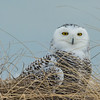 Snowy Owl on dune