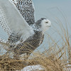 Snowy Owl take off