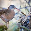 Virginia Rail nest building-8114