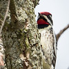 Yellow-bellied Sapsucker-8585