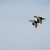 Wood Ducks Flight-8077