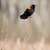 Red-winged Blackbird-8098