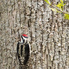 Yellow-bellied Sapsucker-8581