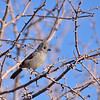 Juniper Titmouse  Grand Canyon